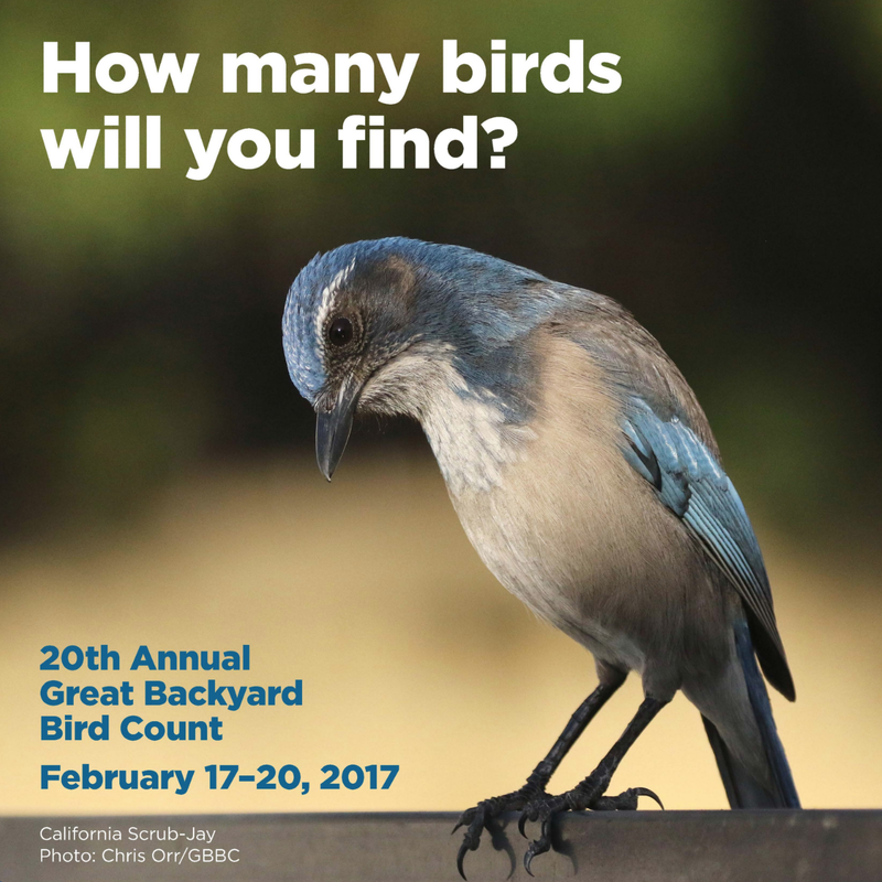 this year in cornell lab of ornithology 39 s great backyard bird count